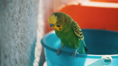 Home budgerigar closeup sitting on a bucket and chirps Stock Footage