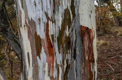 Close up of eucalyptus tree trunk texture Stock Photos