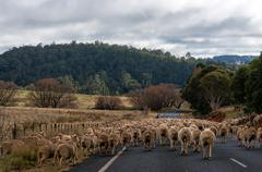 Australian outback life. Heard of sheep on a rural road. Herding - stock photo