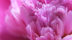 Video Macro pink peony petals - stock footage