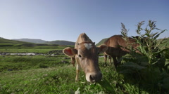 cow in the meadow, near a mountain river. - stock footage