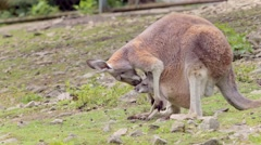 Kangaroo with baby Stock Footage