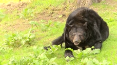 Hungry bear on green grass Stock Footage
