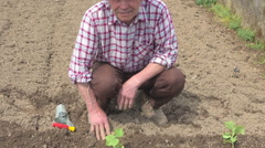 Old farmer planting a fresh cucumber plant in the vegetable garden Stock Footage