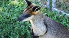 Red Wallaby looks up - stock footage