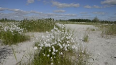Cotton grass and nature of the Yamal Stock Footage