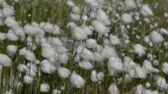 Cotton grass on the Yamal Peninsula Stock Footage