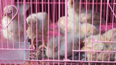 A few chickens in a cage, lose their freedom Stock Footage