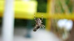 4K European Garden Spider Araneus Diadematus caught a Fly 1 Stock Footage