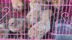 A few chickens in a cage, lose their freedom - stock footage