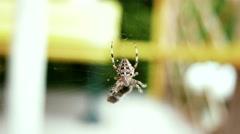 4K European Garden Spider Araneus Diadematus caught a Fly 2 stylized Stock Footage