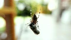 4K European Garden Spider Araneus Diadematus caught a Fly 4 stylized Stock Footage