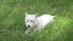 Little white dog playing on the grass - picnic in the park Stock Footage