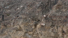 Bighorn sheep (Ovis canadensis) ram on cliff Stock Footage