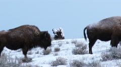 American Bison in winter Stock Footage