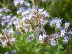 Blooming Lacy phacelia Stock Photos