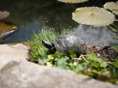 Turtle living in the garden pond - stock photo