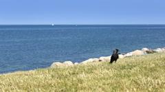 Bird  on the grass coast on the Malmo sea - stock footage