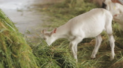 Goat eating green grass on the farm Stock Footage