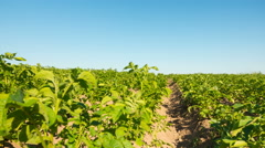 Potato field, time-lapse with dolly Stock Footage
