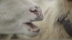 Speckled sheep snout, eyes, close-up Stock Footage