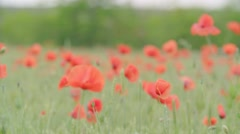 Huge field of blossoming poppies. Poppy field.Field of blossoming poppies Stock Footage