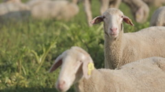 Sheep feed at a sheep-wool farm outside a barn. Stock Footage