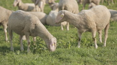 Sheep feed at a sheep-wool farm outside a barn. - stock footage