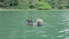 Sea Otter Floating on Its Back Grooming in the Bay Stock Footage