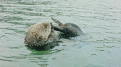 Sea Otter Floating on Its Back Cleaning its Foot Stock Footage
