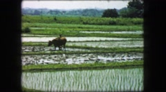 1968: Farmer plowing rice paddy flooded fields oxen work animal towing. Stock Footage