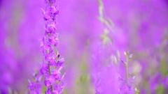 Large field of beautiful purple flowers irises Stock Footage