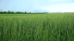 Wheat Field Waves Moved by Summer Wind. Shoot with slider Stock Footage