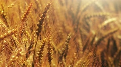 Cultivated wheat crops field - stock footage
