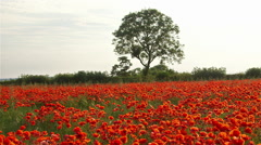 RED POPPIES TREE SCARBOROUGH NORTH YORKSHIRE. Stock Footage