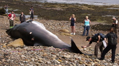 MINKE WHALE WASHED UP BEACH SOUTH BAY SCARBOROUGH Stock Footage