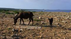 WILD DONKEYS GRASSING ROCKS KARPAS CYPRUS Stock Footage