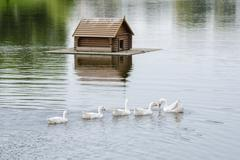 A flock of swans swimming on the lake in the background floating house for th - stock photo