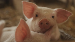 Pig nose, eyes. Focus is on nose. Shallow depth of field. Stock Footage
