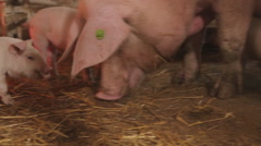 Pigs on the farm, open farm Stock Footage