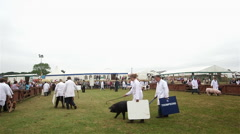 PIGS BEING JUDGED IN PIG RING THE GREAT YORKSHIRE Stock Footage