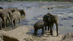 YOUNG ASIAN ELEPHANTS MAHA OYA PINNAWALA SRI LANKA Stock Footage