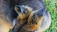 Close-Up of a Red Wallaby Ears in Sunshine - stock footage