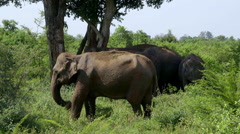 ASIAN ELEPHANTS UDAWALAWE SAFARI PARK SRI LANKA Stock Footage