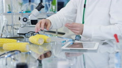 4K Food science researchers working in lab, 1 man measuring length of a corn cob Stock Footage