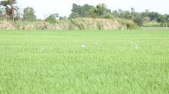 Open-billed birds in rice field, Thailand Stock Footage