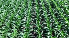 Corn Field Low Fly Reveal Stock Footage