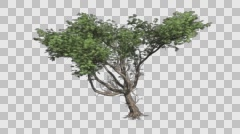 Acacia Tree Groth Animation - stock footage
