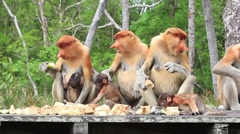Proboscis Monkeys Stock Footage
