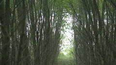 Japanese fast-growing poplar, fast production of wood, the energy industry Stock Footage